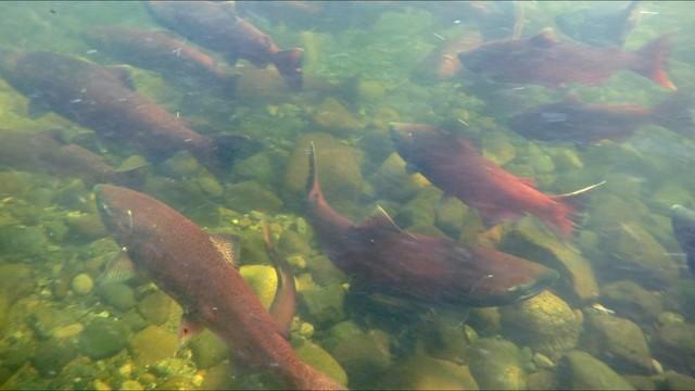 States to reduce salmon trout stocking in lake michigan for Michigan fish stocking