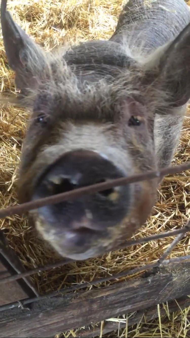 Celebrating National Pig Day At The Critter Barn Wzzm13 Com